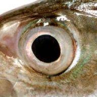 Mackerel Sam